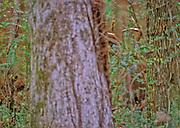 White-tailed deer hidden in woods - Mississippi