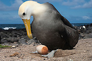 Waved Albatross (Phoebastria irrorata) with egg.<br /> Punta Cevallos, Española Island, GALAPAGOS ISLANDS<br /> ECUADOR.  South America<br /> ENDEMIC TO GALAPAGOS. <br /> CRITICALLY ENDANGERED<br /> However a few pairs nest on Isla de la Plata near the Ecuadorian mainland. +-12,000 pairs breed on the Island of Española in Galapagos. They only come ashore between April and December to breed, otherwise they spend their entire life at sea. Once an albatross chick fledges and goes to sea it will remain there until it is 4 years old before returning to land to breed for the first time. Albatross mate for life and live about 40 years. They form part of the family of tube-nosed birds.