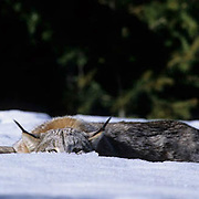 Canada Lynx, (Lynx canadensis) Adult getting into staLakeing position. Rocky mountains. Montana. Winter.  Captive Animal.