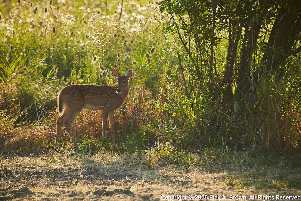Columbia Whitetail Deer (Odocoileus virginianus leucurus) fawm.