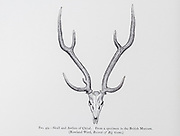 Skull and antlers of the chital (Axis axis), also known as spotted deer, chital deer, and axis deer, from the book ' The deer of all lands : a history of the family Cervidae, living and extinct ' by Richard Lydekker, Published in London by Ward 1898