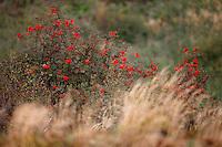 Rowan (Sorbus aucuparia), Bieszczady National Park, Poland