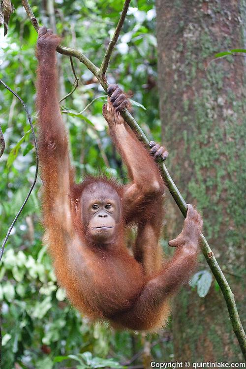 Young Bornean Orangutan, Pongo pygmaeus morio, hanging from a branch at the Orang Utan Sanctuary Sepilok, Sabah, Borneo