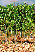 Vines in the vineyard. Vines equipped with black rubber or plastic tubes for artificial irrigation watering. Vranac grape variety. Typical red reddish clay sand sandy soil mixed with pebbles rocks stones in varying amount. Vineyard on the plain near Mostar city. Hercegovina Vino, Mostar. Federation Bosne i Hercegovine. Bosnia Herzegovina, Europe.