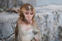 Closeup of baby Rhesus Macaque monkey, India. Wildlife and nature photography wall art. Fine art photography prints, stock images.