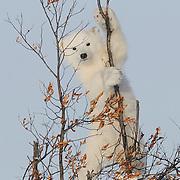 Polar Bear (Ursus maritimus) cub.