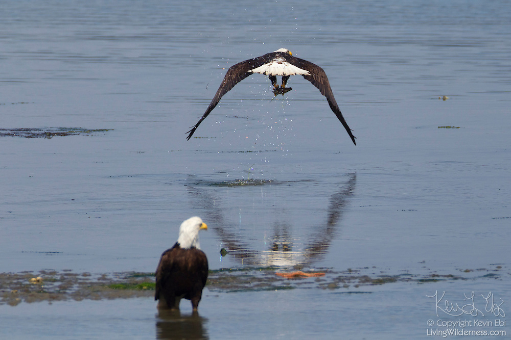 A bald eagle (Haliaeetus leucocephalus) takes off with a fish it caught in the Hood Canal near Seabeck, Washington, as another eagle watches.