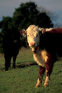 Pair of Hereford cows in pasture, Briones Regional Park, Contra Costa County, California
