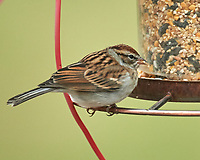 Chipping Sparrow. Image taken with a Nikon D5 camera and 600 mm f/4 VR telephoto lens.