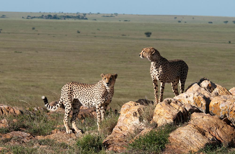 The Cheeta couple