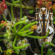 Ephemeral Flight - Restoring the Quino Checkerspot