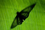 Marshall's Ghost Skipper Butterfly, Phanus marshalli, Panama, Central America, Gamboa Reserve, Parque Nacional Soberania, backlight  resting on leaf