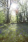 Bluebells in woods in Buckinghamshire