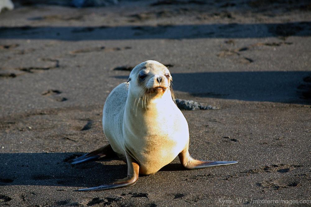 South America, Ecuador, Galapagos Islands, Santiago Island, James Island, Port Egas. A Sea Lion comes ashore to sun Santiago Island.