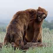 Brown bear, two large males play fighting,  Katmai National park, Alaska.