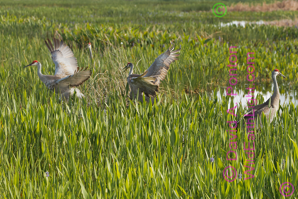 Sandhill crane in wetland chases neighboring adult from territory, © David A. Ponton