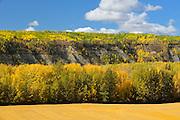 Autumn foliage in poplar (aspen) forest<br /> Grande Prairie<br /> Alberta<br /> Canada