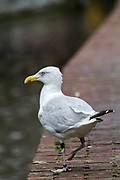 Seagull on the canal Photographed at Alkmaar, Netherlands