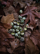 Acorns from an oak tree placed on a bed of oak leaves that are falling like rain when the wind blows at the Washington Park Arboretum.<br />