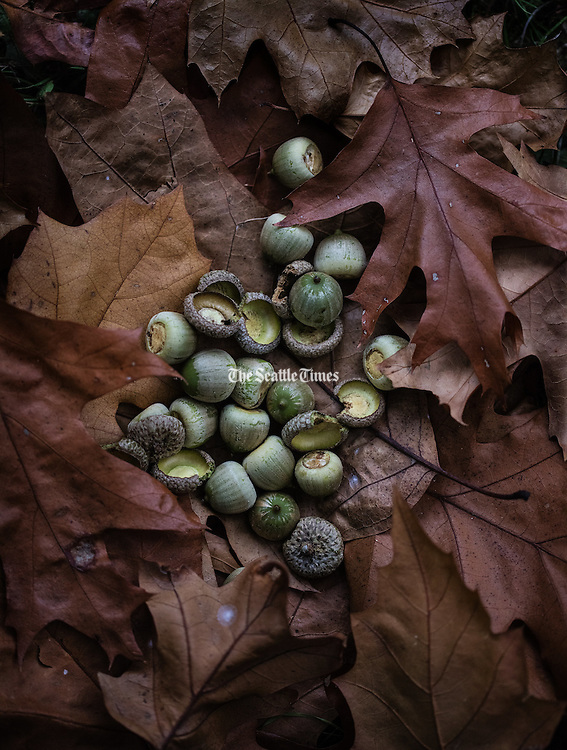 Acorns from an oak tree placed on a bed of oak leaves that are falling like rain when the wind blows at the Washington Park Arboretum.<br /> <br /> Steve Ringman / The Seattle Times