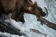 A brown bear known as 503 attempts to catch a salon at Brooks Falls, Alaska