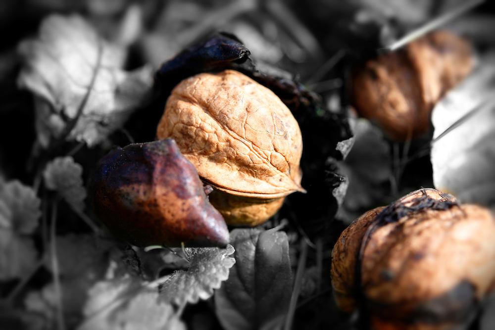 Fresh Walnuts ; fallen ; harvest ; walnut ; walnuts ; ripe ;
