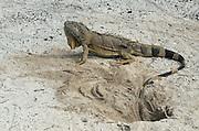 Green Iguana (iguana iguana)<br /> Nesting female<br /> Banco Chinchorro, Offshore Atoll<br /> Yucatan Peninsula<br /> Mexico<br /> Central America