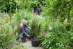 Carol Klein planting out Aster lateriflorus 'Horizontalis' in Annie's garden