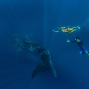 Whale shark (Rhincodon typus) with the Captain and guide of the tour banca boat, Honda Bay, Palawan, the Philppines.