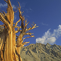 A weather-beaten Bristlecone Pine survives the arid, high altitude climate below 13,146-foot Boundary Peak, the highest summit in Nevada.  Some bristlecone have lived more than 4800 years and are the oldest non-clonal living things.