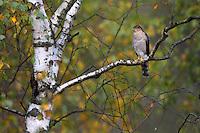 Eurasian Sparrowhawk (Accipiter nisus), the Carpathians; Carpathian Mountains; Bieszczady Mountains; Poland