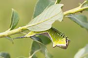 Puss moth caterpillar (Cerura vinula) on willow. Surrey, UK.