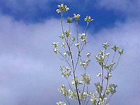 Dogwood (Cornus kousa) blossoms against the sky