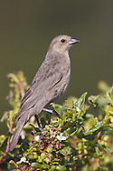 Brown-headed Cowbird - Molothrus ater - Adult female