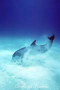 Atlantic bottlenose dolphin, Tursiops truncatus, crater feeding in sand, White Sand Ridge, Little Bahama Bank, Bahamas ( Western Atlantic Ocean )