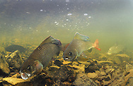 Artic Grayling<br />