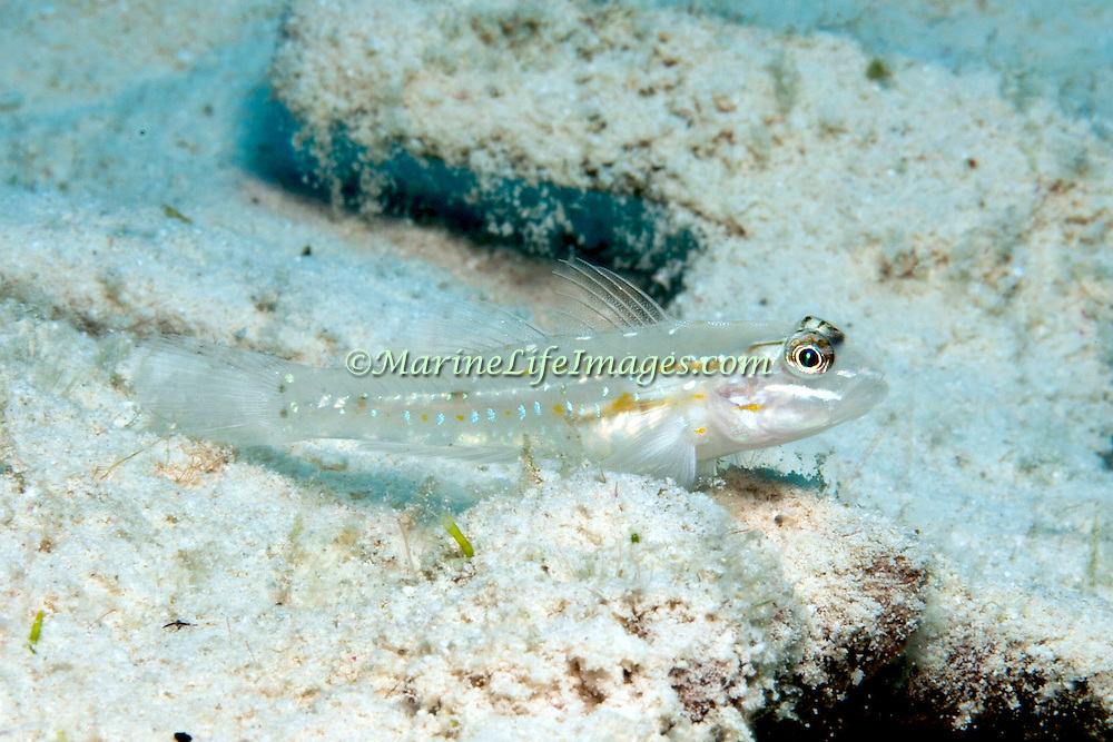 Sand-Canyon Goby inhabit deep clearwater areas of sand and rubble around reefs, often in areas of current in Tropical West Atlantic; picture taken San Salvador, Bahamas.