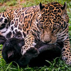 Onça-pintada e Onça-preta (Panthera onca) fotografado em Goiás - Centro-Oeste do Brasil. Bioma Cerrado. Registro feito em 2015.<br /> ⠀<br /> ⠀<br /> <br /> <br /> <br /> <br /> <br /> ENGLISH: Jaguar photographed in Goias - Midwest of Brazil. Cerrado Biome. Picture made in 2015.