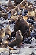 Alaska, Pribilof Islands, St. Paul Island. Northern fur seals relaxing on rocks.