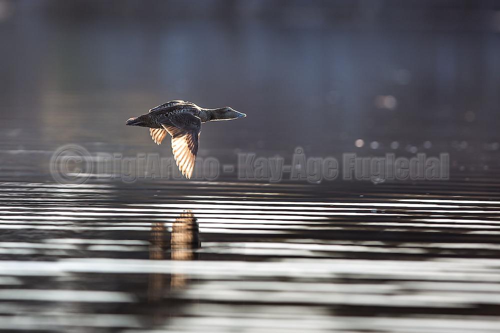 Escaping Graygoose | Grågås i flukt