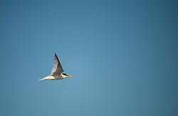 Little tern Sternula albifrons, adult in flight, Winterton-on-Sea, Norfolk, July