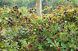 Blackberry 'Loch Ness' trained on a post
