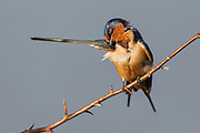 Stock Photo of barn swallow captured in Colorado.  Females prefer to mate with males with the longest tails and a dark red chest.