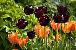 Tulipa 'Queen of Night' with Tulipa 'Annie Schilder'