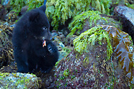 Black bear cub, Ursus americanus, Tofino, Clayoquot sound, British Columbia, Canada, North America