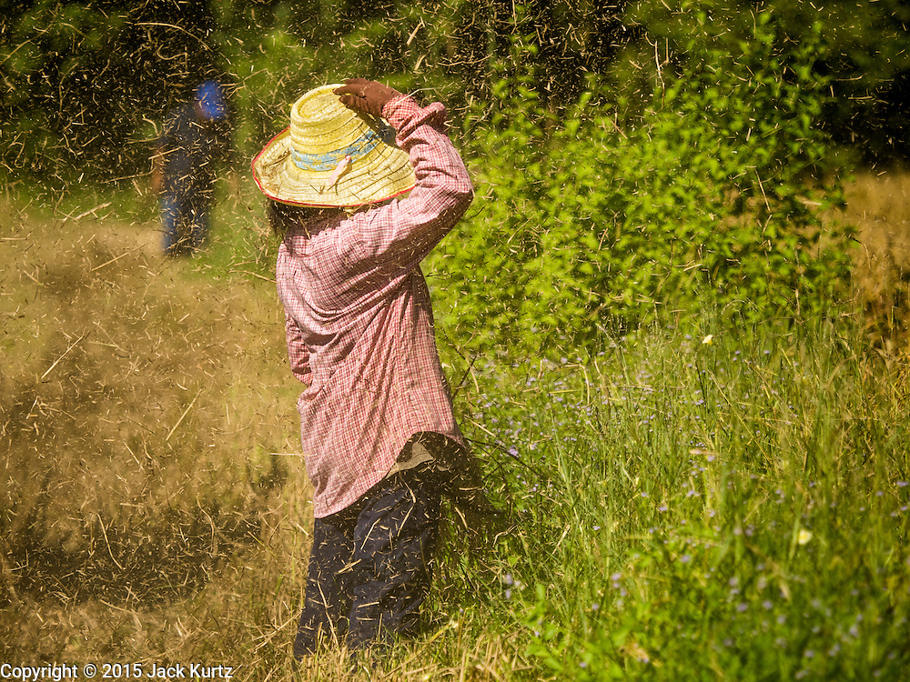 """08 DECEMBER 2015 - KO WAI, NAKHON NAYOK, THAILAND:  A woman holds onto her hat while chaff from a rice harvesting machine blows around her during the rice harvest in Nakhon Nayok province, about two hours north of Bangkok. Thai agricultural officials expect rice prices to go up by as much as 15% as global production of rice is cut by the Pacific Ocean El Niño weather pattern. Thailand's rice production is expected to drop in the coming year. Persistent drought has reduced the main crop, currently being harvested, and the military government has ordered farmers not to plant a second crop of """"dry season"""" rice to conserve Thailand's dwindling supply of water. Thailand's water reservoirs are at their lowest seasonal levels in recent memory and little rain is expected during the dry season, which lasts until June.   PHOTO BY JACK KURTZ"""