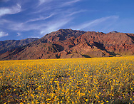 """CADDV_048 - USA, California, Death Valley National Park, Huge field of desert sunflower blooms beneath the Black Mountains. A very wet winter produced this rare """"hundred year bloom"""". (7737x6000 px)"""