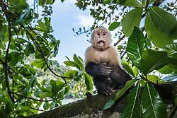 White-headed capuchin monkey, Manuel Antonio National Park, Costa Rica