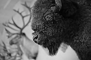 Buffalo head and other mounts at Tulane's Natual History Museum.