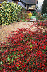 Looking towards the porch at Great Dixter with Cotoneaster horizontalis - Wall spray, Rock spray - spreading over the path in the foreground